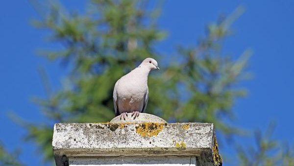Co pomoże odstraszyć gołębie?