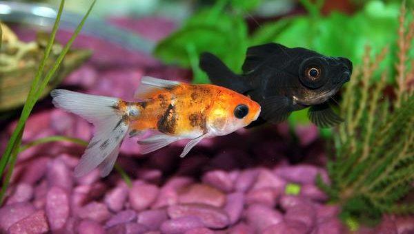 Hodowla rybek akwariowych
